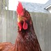 The Rhode Island Red