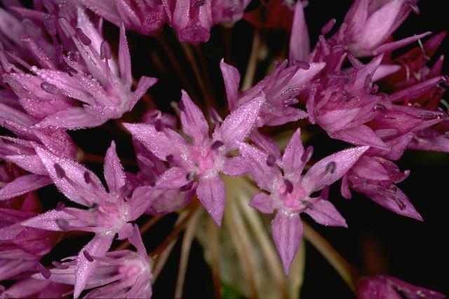 Header of Allium lemmonii