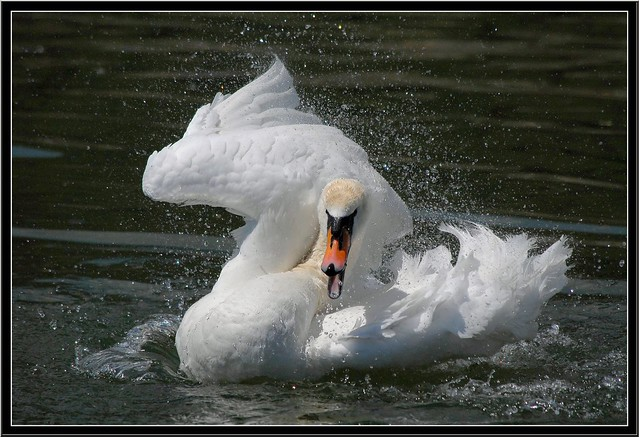 Swan---tsunami