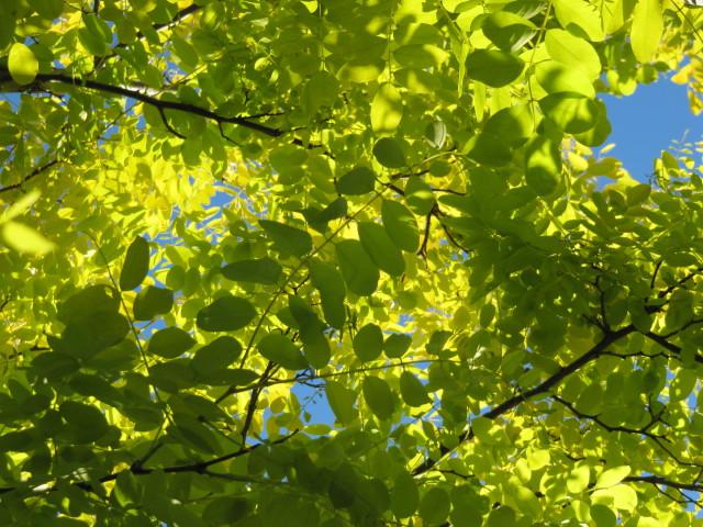 Robinia pseudoacacia ´Frisia´