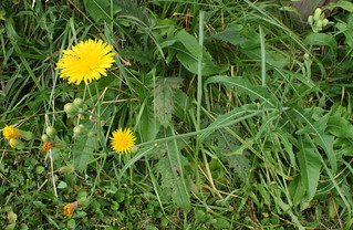FieldSowThistle