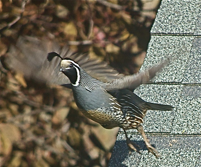 Quail Flight | Flickr ...