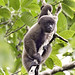Common Woolly Monkey - Photo (c) Bill Bouton, some rights reserved (CC BY-SA)