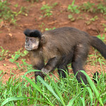 Macaco-prego (Cebus apella)