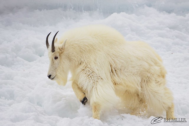 The Majestic Mountain Goat