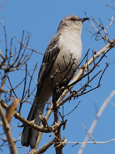Brooklyn Botanic Garden (BBG) Northern Mockingbird page: <a href=
