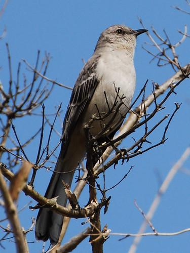Brooklyn Botanic Garden (BBG) Northern Mockingbird page: <a href=