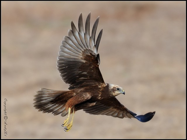 Eastern Marsh Harrier - 澤鷂