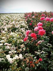 rosa wichuraiana, shrub, garden roses, flower, garden, plant, flora, petal,