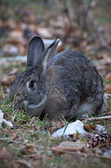 pet(0.0), animal(1.0), hare(1.0), rabbit(1.0), domestic rabbit(1.0), fauna(1.0), wood rabbit(1.0), whiskers(1.0), rabits and hares(1.0), wildlife(1.0),