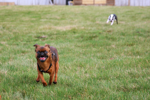 A smooth Brussels Griffon racing towards the camera across a grassy field, tongue hanging out.  In the distance behind her is a black and white French bulldog, furiously trying to catch up.