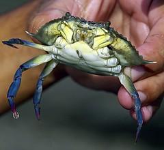 crab, animal, crustacean, seafood, marine biology, invertebrate, macro photography, fauna, close-up,