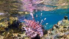 invertebrate(0.0), coral reef(1.0), fish(1.0), coral reef fish(1.0), marine biology(1.0), fauna(1.0), lionfish(1.0), scorpionfish(1.0), underwater(1.0), reef(1.0), aquarium(1.0), wildlife(1.0),