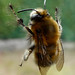 Small photo of Male Hairy -footed Bee Anthophora plumipes