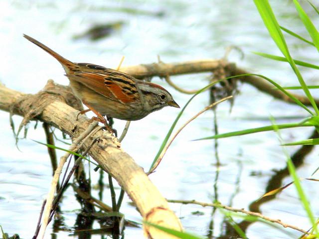 Swamp Sparrow 3-20100420