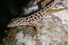 "<a href=""http://www.flickr.com/photos/theactionitems/5839885014/"">Photo of Anolis sabanus by Marc AuMarc</a>"