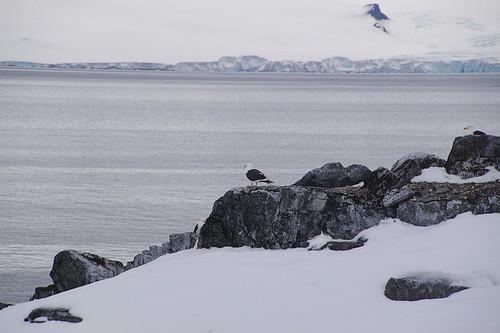 191 Wandeling Halfmoon Island - kelpmeeuw