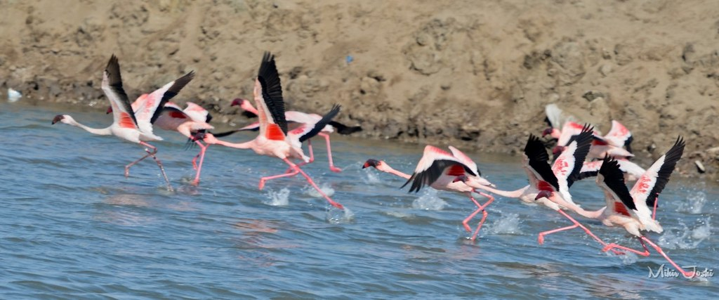 Lesser Flamingo [Flamenco Enano]