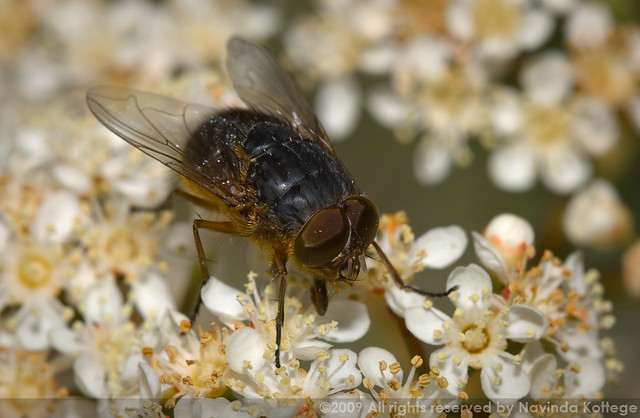 Blow-fly