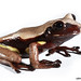 Nyctimantis rugiceps - Photo (c) Santiago Ron, some rights reserved (CC BY-NC)