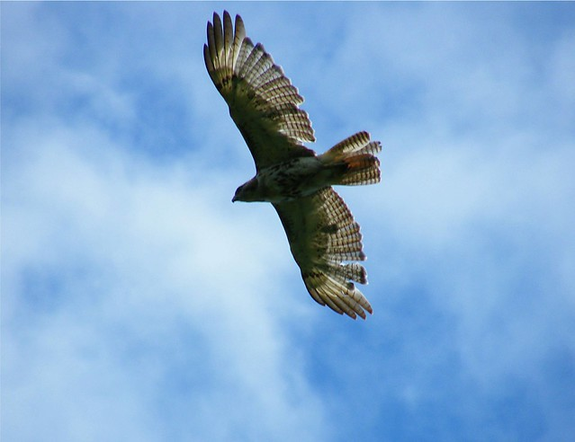 Chicken Hawk | Flickr - Photo Sharing!