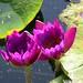 Seerosenblüten - lila  - 88/0194 by roba66