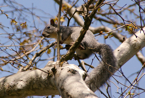 6831 (3)Gray Squirl in a Sycamore Tree
