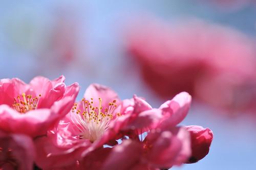 flower macro peachblossom ハナモモ tamronspaf90mmf28macro バラ科rosaceae モモ属amygdalus