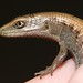 Alligator Lizards and Legless Lizards - Photo (c) Marc Matteo, some rights reserved (CC BY-NC)