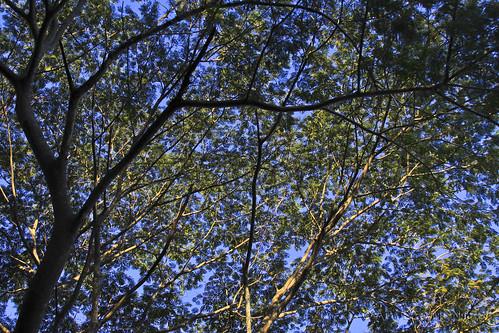 tree arbol jalisco foliage cielo árbol follaje cacao venas cajóndepeñas