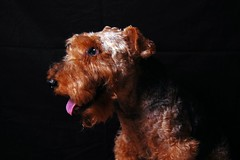 puppy(0.0), animal(1.0), dog(1.0), schnoodle(1.0), lakeland terrier(1.0), welsh terrier(1.0), irish terrier(1.0), carnivoran(1.0), terrier(1.0), airedale terrier(1.0),