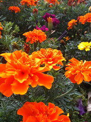 Bed of Marigolds