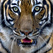 Tiger Face Off by Rick Shackletons Photographic Adventures