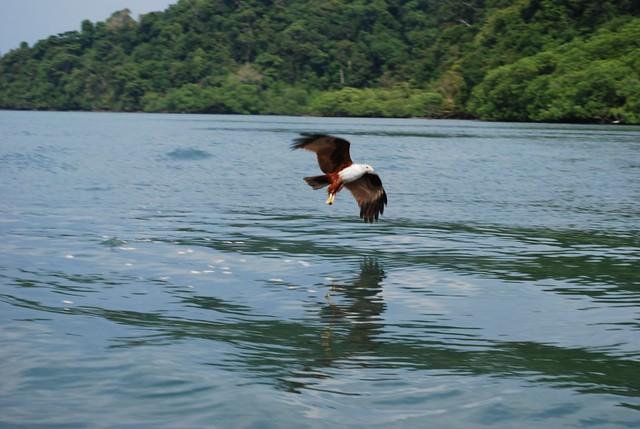 Eagle feeding at Singa Besar Island
