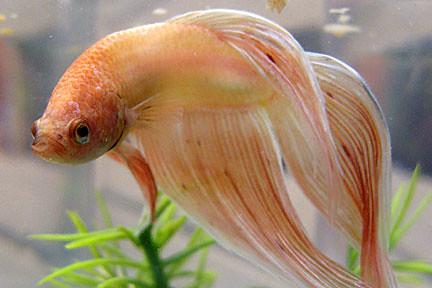 Male betta splendens flickr photo sharing for Male veiltail betta fish