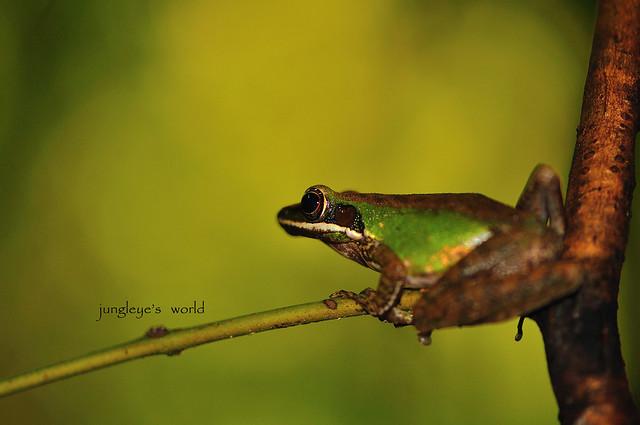 White-Lipped Frog [ Rana ]