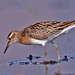 Sharp-tailed Sandpiper - Photo (c) Jerry Oldenettel, some rights reserved (CC BY-NC-SA)