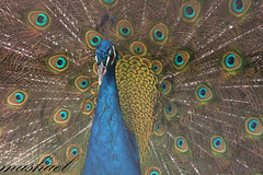 animal(1.0), peafowl(1.0), feather(1.0), wing(1.0), organism(1.0), fauna(1.0), close-up(1.0), beak(1.0), bird(1.0),