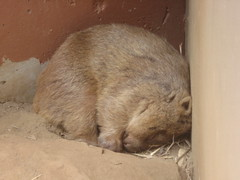 animal, fauna, degu, whiskers, rabits and hares,