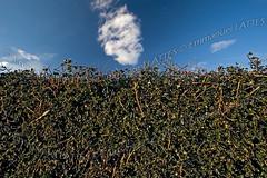 Haie taillée dans un houx commun (Ilex aquifolium).