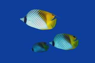 Threadfin Butterflyfish in blue water