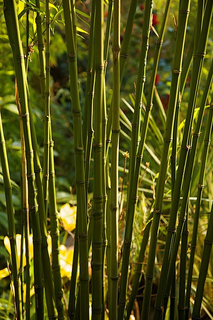 phyllostachys aurea golden bamboo fishpole bamboo flickr photo sharing. Black Bedroom Furniture Sets. Home Design Ideas