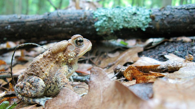 Light colored toad in the forest