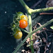 Earth Eats: Cherry Tomatoes