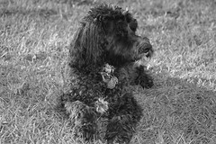 schnoodle(0.0), boykin spaniel(0.0), pumi(0.0), cockapoo(0.0), dog breed(1.0), animal(1.0), dog(1.0), pet(1.0), lagotto romagnolo(1.0), irish water spaniel(1.0), monochrome photography(1.0), spaniel(1.0), barbet(1.0), monochrome(1.0), carnivoran(1.0), black-and-white(1.0),