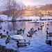 Swan Lake.... Swan and geese lake.... Swan and geese and lots 'n' lotsa ducks lake.