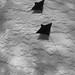 2 Eagle Rays by Adam Broadbent