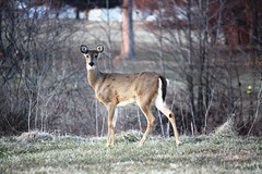 Deer staring in open