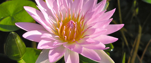 Water Lily Banner