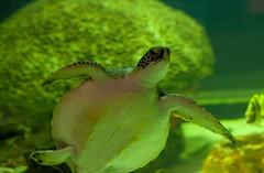 Treme the sea turtle